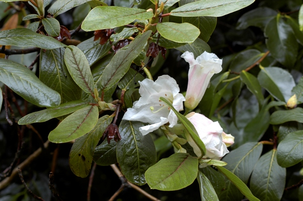 Rhododendron magacalyx