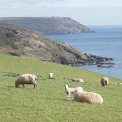 Caerhays -  New season lambs