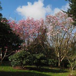 Caerhays -  Magnolias in the garden