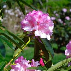 Caerhays -  Rhododendrons
