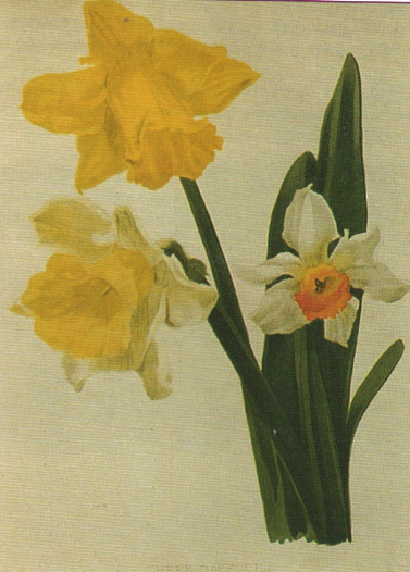 Daffodil Monarch